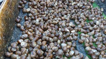 Питомник виноградных улиток